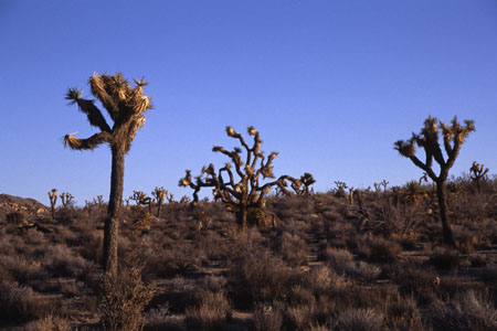 Joshua Trees. (36.303 Byte)