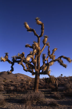 Joshua Tree. (38.829 Byte)